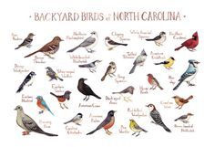 Backyard Birds of North Carolina Field Guide Style Watercolor Painting Print by KateDolamore