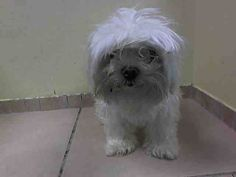 Brooklyn Center COCONUT - A1027303 FEMALE, WHITE, MALTESE MIX, 5 yrs OWNER SUR - EVALUATE, NO HOLD Reason MOVE2PRIVA Intake condition EXAM REQ Intake Date 02/06/2015 https://www.facebook.com/photo.php?fbid=959373250742221