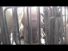 The Pork Industry's Dark Secret. Millions of pigs are confined inside gestation crates—cages so small they're unable even to turn around.  The pork industry's leadership continues to defend the indefensible: Locking animals in these tiny, cramped cages. It's hard to imagine a more miserable existence than being immobilized day and night.
