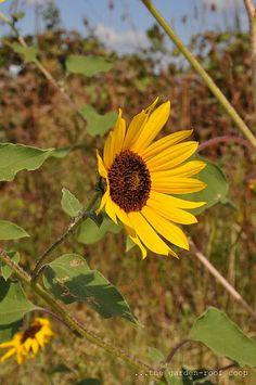 Helianthus annuus 'Common Sunflower'