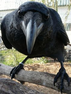Russell, a gorgeous Brown-necked Raven x Pied Crow hybrid.