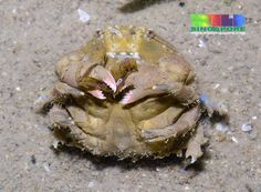 Sponge crab (Family Dromiidae) | Flickr - Photo Sharing! Beard Soap, Beard Balm, Critters 3, Crab Stuffed Shrimp, Perfect Beard, Beer Opener, Beard Lover, Hair And Beard Styles, Under The Sea