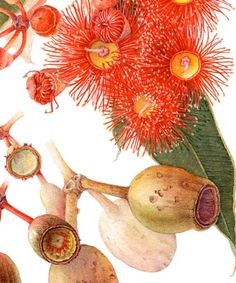Botanical Prints - Eucalyptus ficifolia limited edition botanical print detail by Margaret Saul Australian Wildflowers, Australian Native Flowers, Australian Plants, Australian Art, Illustration Botanique, Plant Illustration, Botanical Flowers, Botanical Prints, Art Floral