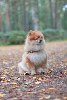 Cute little Pomeranian  http://placefordreams.blogspot.fi