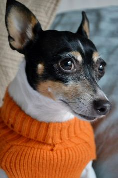 Profile picture. #toy fox terrier