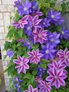 2 varieties clematis planted next to each other to intertwine and climb on a trellis