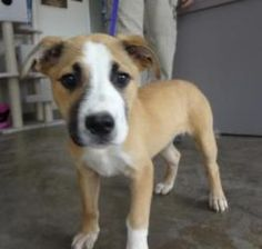 Bella is an adoptable Shepherd Dog in Richland Hills, TX. Bella is playful and inquisitive. She is a puppy and will need training to be the best pet possible. This pet is presently available at the R...