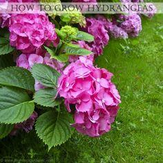 Pink Hydrangea, Growing Hydrangea, Hydrangea Care, Outdoor Plants, Outdoor Gardens, Transplanting Hydrangeas, When To Plant Hydrangeas, Dream Garden, Beautiful Gardens