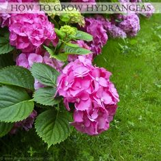 How to Grow Hydrangeas - Everything you need to know about growing hydrangeas to make them thrive. Find out where & when to plant, likes & dislikes, watering, fertilising, maintenance and transplanting tips plus a gallery of gorgeous blooms to inspire. | The Micro Gardener