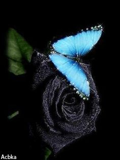Blue Roses Wallpaper, Butterfly Wallpaper, Wallpaper Backgrounds, Beautiful Gif, Beautiful Roses, Animals Beautiful, Butterfly Kisses, Blue Butterfly, Moth Cocoon