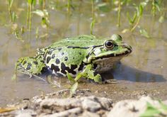Different Types of Frogs – There are over 5,000 types of frogs world wide that are placed in 25 families.