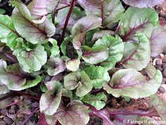 How To Grow Beets from Seed & Why You Should