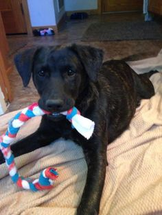 Duck is an adoptable Labrador Retriever searching for a forever family near Oakdale, MN. Use Petfinder to find adoptable pets in your area.