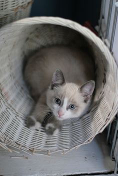 our snowshoe cat alfred as a kitten in 2008, destroying the waste paper basket. i think this picture is pure cuteness