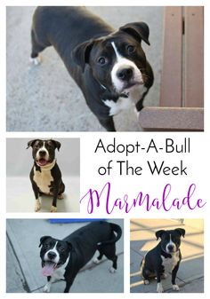 Adopt-A-Bull of The Week – Marmalade in Pennsylvania | http://www.thelazypitbull.com/adopt-a-bull-marmalade-pennsylvania/
