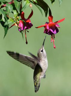 plants to attract hummingbirds  (hummingbird feeders can get mold and be deadly to hummingbirds)