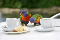 """Afternoon tea - Australia"" Love this - I have these rainbow lorikeets in my back garden but they will not come this close. S"