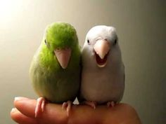 Parrotlets - Koolaid and Smokey re-unite