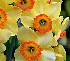 Narcissus La Belle - White Flower Farm  smells