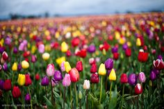 My all time favorite... Tulip festival in Oregon... I want to go....