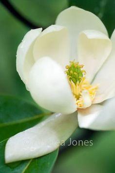 Magnolia virginiana (swamp laurel, sweetbay)
