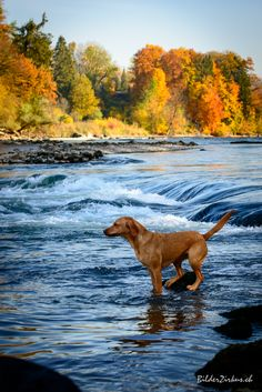 Herbst Labrador Retriever, Dogs, Animals, Good Photos, Fall, Labrador Retrievers, Animales, Animaux, Animal Memes