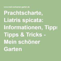 Prachtscharte, Liatris spicata: Informationen, Tipps & Tricks - Mein schöner Garten Tricks, Math Equations, Olive Tree, Sparklers, Gardening, Nice Asses