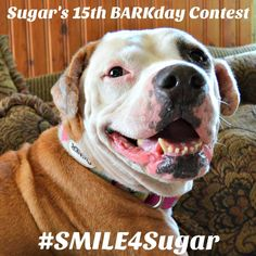 Our good friend Sugar @GoldenWoofs is turning 15 years old!  Join us as we help celebrate her BIG 15th BARKday with 15 prizes for 15 winners!  Contest Announcement #Smile4SUGAR  July 26th - August 10th Celebrate SUGAR's 15th Barkday!  Share a Happy SMILE photo of your dog or cat   with #Smile4Sugar hashtag  Rules: 1.Follow: Host: @GoldenWoofs  and pawsome 15 co-hosts:  @goldens_ofinstagram  @scoutgoldenretriever  @pupsonpar  @borithegoldenfamily  @closeupsofcaptain  @phoebelindas2…