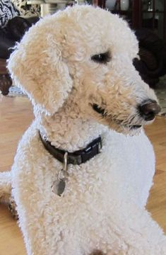 17 best ideas about Poodle Cuts