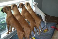 Jeffrey Feole's Boxer Gang! www.dailyboxer.com.  Yup, almost time for daddy to get home. Play time!