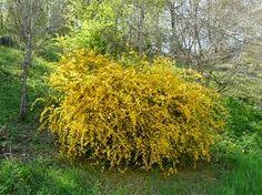 Image result for kerria japonica za