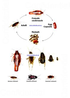 OC Reading Comprehension Cockroach Life Cycle