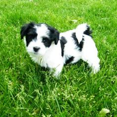 a black and white parti might be my next dog...
