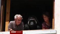 Ver video. La gorila adoptada por una pareja francesa sin hijos