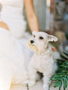 I had 3 schnauzer's in my lifetime and I loved them more than anything...this white one is so beautiful!!