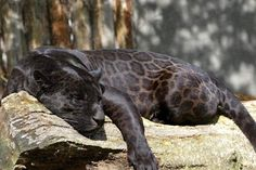 Black panthers in Asia and Africa are leopards and black panthers in the Americas are black jaguars. A black panther is the melanistic color variant of any Panthera species. Beautiful Cats, Animals Beautiful, Black Jaguar Animal, Big Cats, Cute Cats, Baby Animals, Cute Animals, Wild Animals, Black Panthers