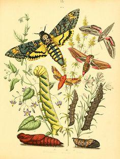 Musée entomologique illustré  Rothschild,1876-1878
