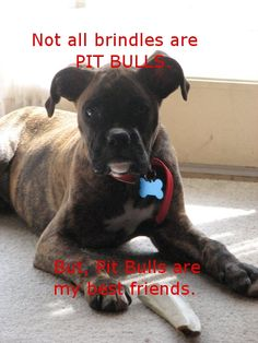 There are brindle coats in lots of dogs breeds. Pit bulls, boxers, great danes and more!