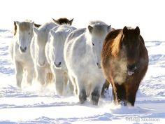 Icelandic Horses - Helgi Skulason Photography | Flickr - Photo Sharing!