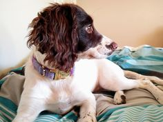 Meet Luna! 5 month Springer Spaniel http://ift.tt/2jCMaSN
