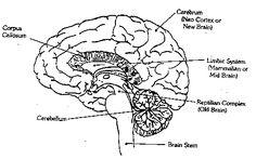 reptilian brain to color - Google Search