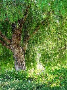 California Pepper Trees are pretty much my favorite California tree. Garden Trees, Garden Plants, Meadow Garden, Desert Trees, Pepper Tree, Baumgarten, Street Trees, Urban Farming, Landscaping Plants