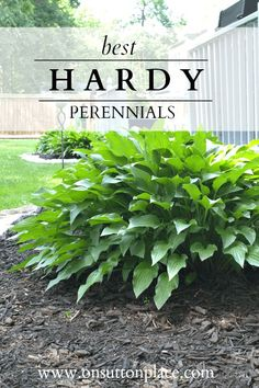 Best Hardy Perennials | Tried and true favorites along with tips from a DIY gardener. For beginner gardeners or anyone who needs a little inspiration!