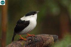 https://www.facebook.com/WonderBirdSpecies/ White-bearded manakin (Manacus manacus); South America; IUCN Red List of Threatened Species 3.1 : Least Concern (LC)(Loài ít quan tâm) || Chim Manakin râu xồm; Nam Mỹ; HỌ MANAKIN - PIPRIDAE.