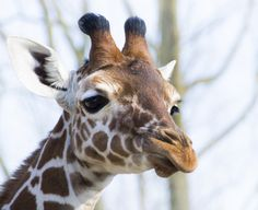 The 'horns' on their heads are actually ossicones, which are used for temperature regulation. | 22 Reasons Giraffes Should Be Your New Favourite Animal