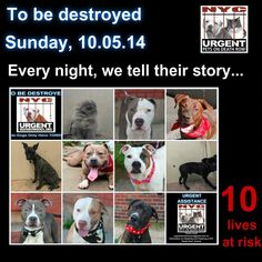 TO BE DESTROYED: 10 Dogs to be euthanized by NYC ACC- SUN. 10/05/14. This is a HIGH KILL shelter group. YOU may be the only hope for these pups! ****PLEASE SHARE EVERYWHERE!!!To rescue a Death Row Dog, Please read this:  http://urgentpetsondeathrow.org/must-read/    To view the full album, please click here:    https://www.facebook.com/media/set/?set=a.611290788883804.1073741851.152876678058553&type=3