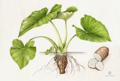 Canoe Plants — Botanical Artist & Illustrator, Learn to draw Art Books, Art Supplies, Workshops