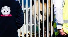 Panda's: hoge kosten, hogere baten
