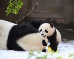 Karl Drilling Panda Cub Xiao Liwu with Bai Yun on Snow Day 3-19-2013