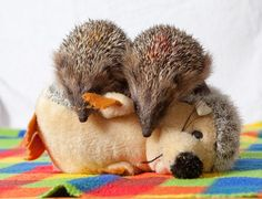 Hedgehogs ..♥♥.. Miney and Mo cuddle into their surrogate mum in the form of a soft-toy hedgehog after being orphaned. The hedgehogs were rescued by Beryl Steadman of the Pembrokeshire Hogspital last month and have been nursed back to health with hourly feeds